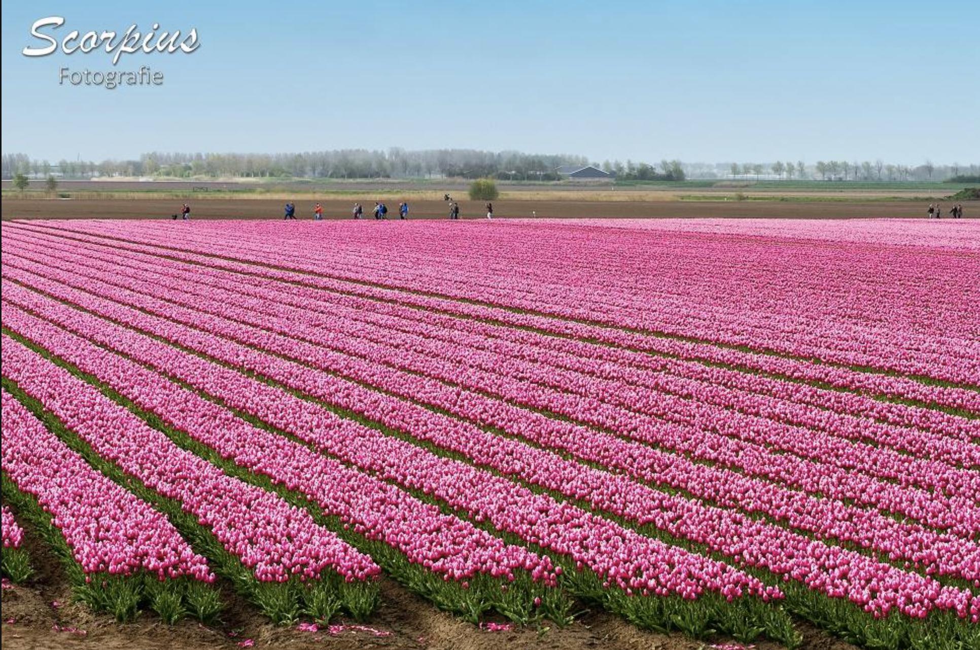 Welkom bij de Tulpenwandeltocht